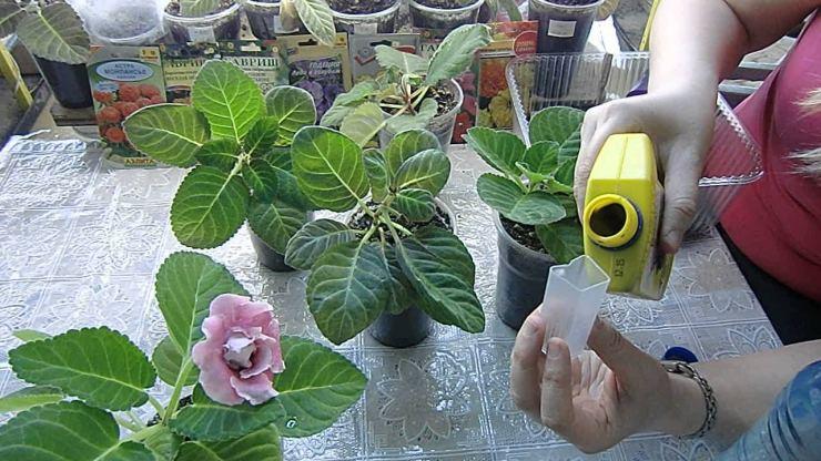 Чем подкормить глоксинию в домашних условиях