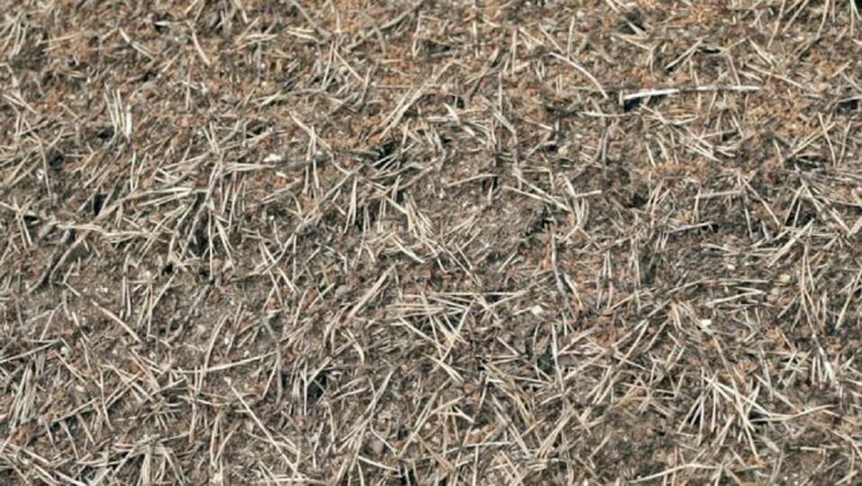 Сосновые иголки как удобрение, мульча из хвои сосны для растений