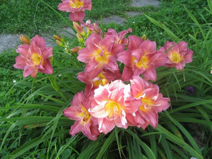 Чем удобрять лилейники весной для пышного цветения