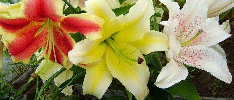 Чем и как подкормить лилии перед цветением Правила подкормки в июне и весной Как удобрять золой