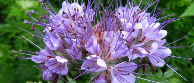 Фацелия как сидерат (19 фото): как сеять и применять осенью и весной? Описание пижмолистной и другого вида фацелии, отзывы