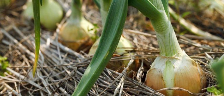 Удобрения перед посадкой лука