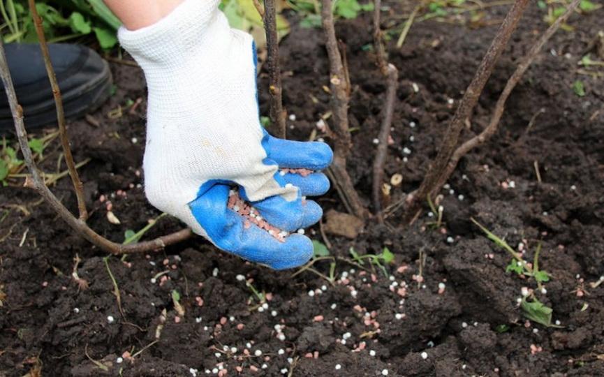 Чем лучше подкормить жимолость весной летом и осенью как и сколько вносить удобрений