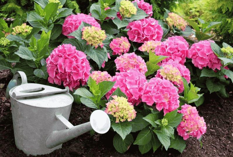 Чем подкормить гортензию весной: чем удобрять для пышного цветения, удобрения для метельчатой гортензии