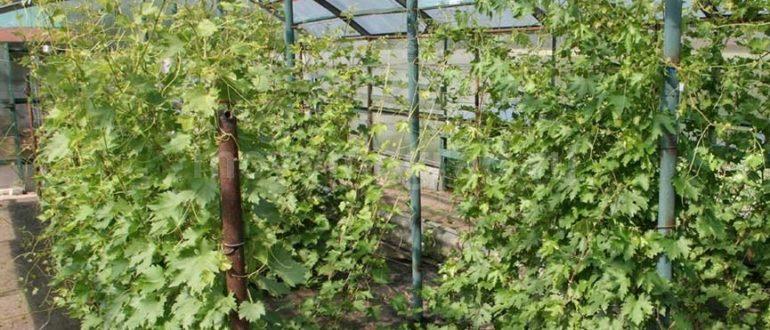 Подкормка винограда весной: чем удобрять после открытия для хорошего урожая