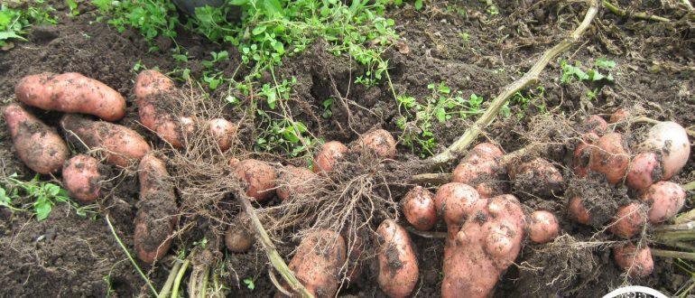 Виды удобрений для внекорневой подкормки картофеля и правила внесения