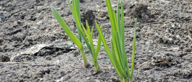 Подкормка чеснока весной и летом для хорошего урожая