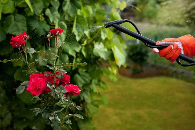 Как кормить розы