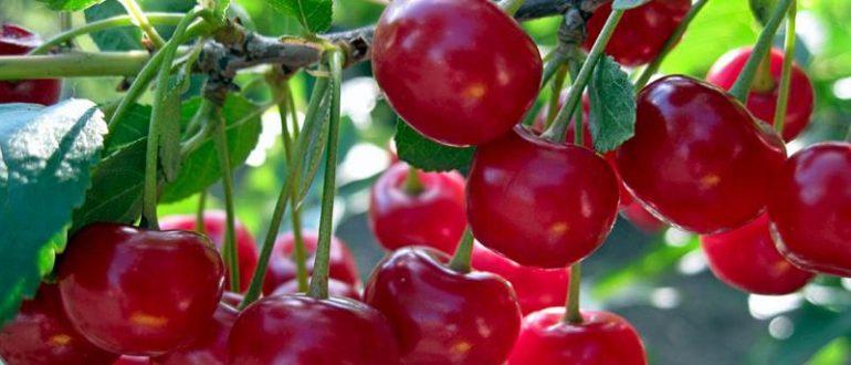 Вишня - как повысить урожайность дерева внесение подкормок видео