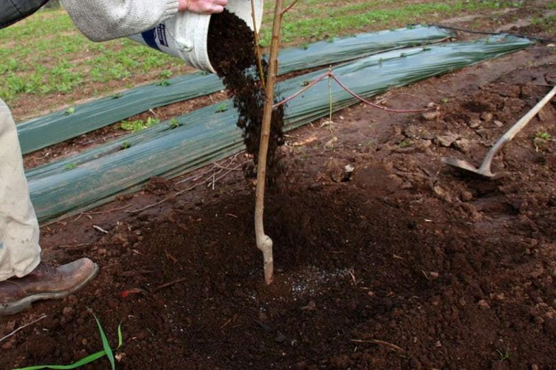 Чем и как удобрять грушу осенью