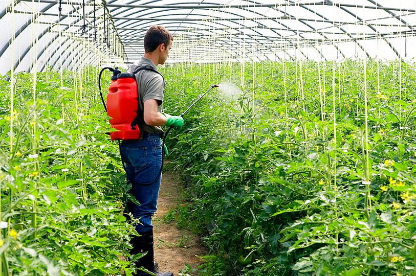 Подкормка томатов в теплице какие удобрения и когда использовать