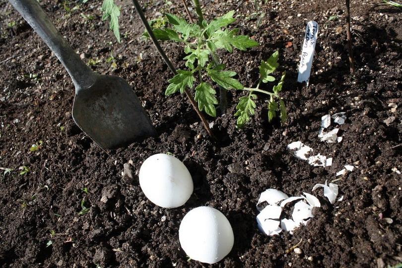 Польза яичной скорлупы для огорода