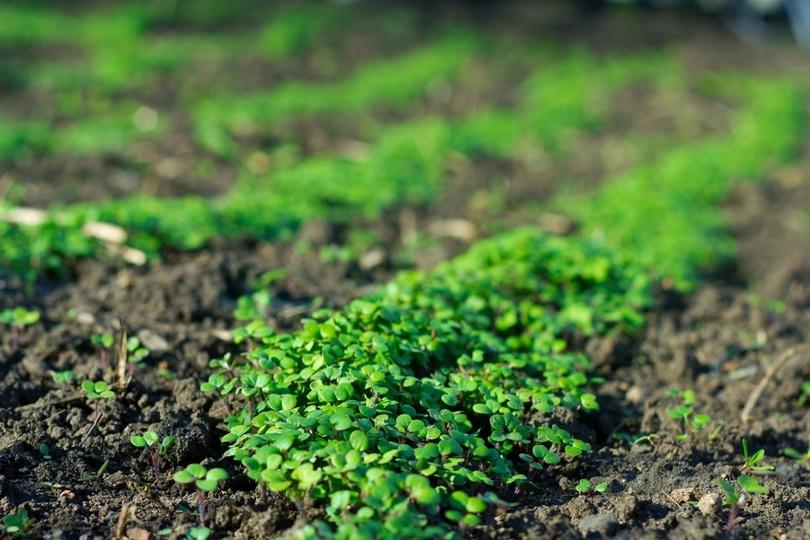 Посев сидератов весной