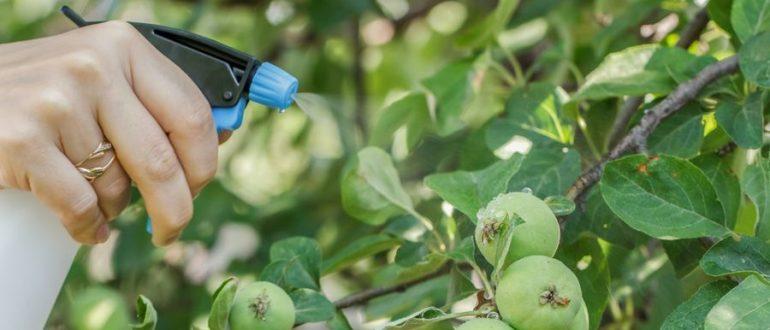 Как обрабатывать яблони бордосской жидкостью