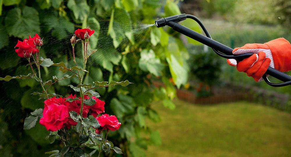 Лучшие фунгициды для роз