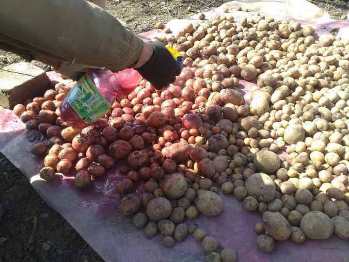 ᐉ Обработка картофеля перед посадкой – назначение и методы