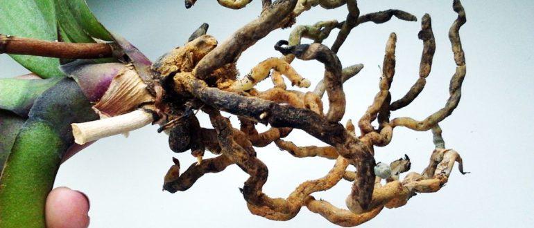 Пересадка орхидеи корни сгнили