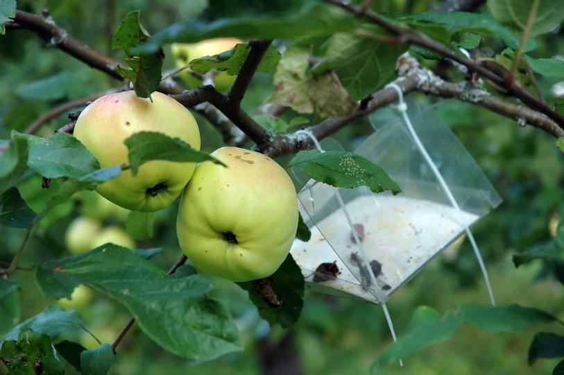 Плодожорка на яблоне. Методы борьбы с вредителем, профилактика
