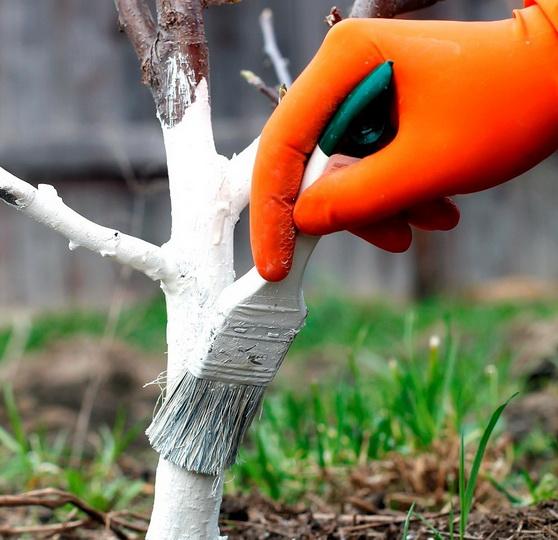 Как развести гашеную известь для побелки деревьев