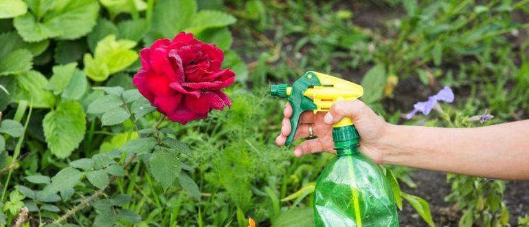 Тля на розах - чем обработать цветы? Обзор народных средств борьбы с тлей