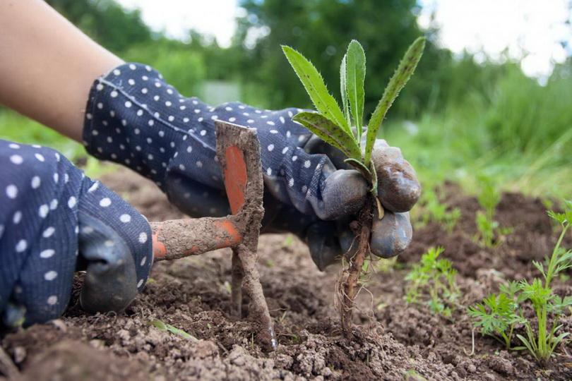 Растения для уничтожения сорняков