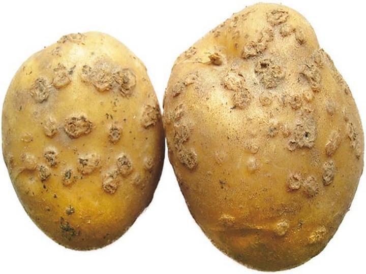 Препараты от парши на картофеле